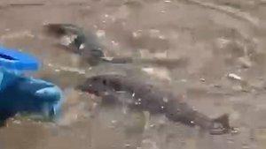 Balon balıkları Alanya sahilinde görüntülendi