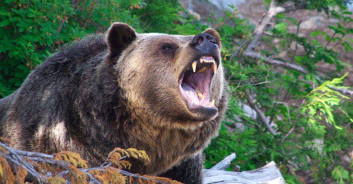 Erzurum'da ayı saldırısı: 1 ağır yaralı