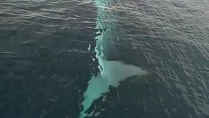 Kameraya yansıdı! Adana'da balina!