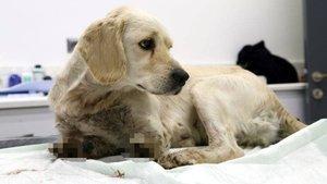 Köpeğe korkunç işkence! Bacakları kesilmiş