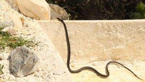 Kuşadası'nda siyah yılan paniği