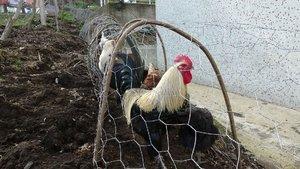 Tavuk kavgasına 'tünelli' çözüm