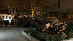 TFF tesislerindeki asırlık çınar şiddetli rüzgarla devrildi