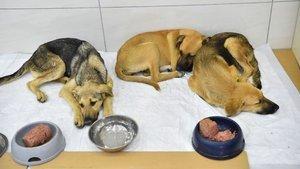 Zehirlenen yavru köpeklerden iyi haber