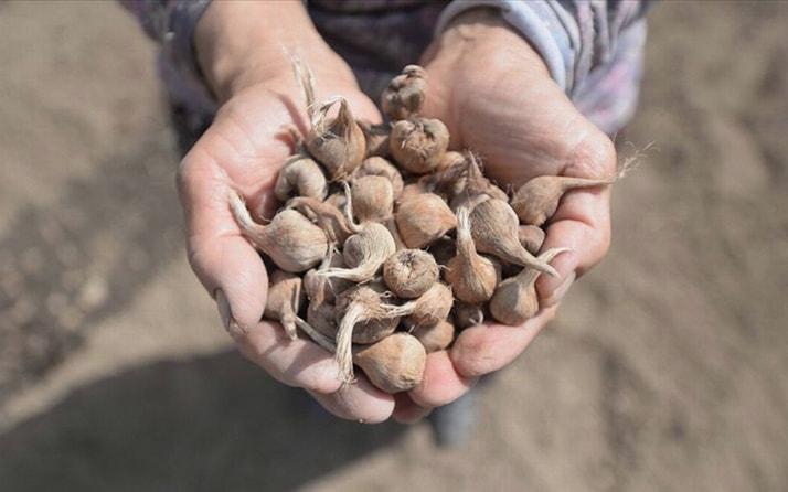Karabük'te ekilen mucize bitki safranda hedef 20 kilogram