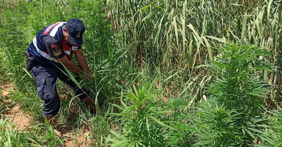 Manisa'da 15 bin 400 kök Hint keneviri ele geçirildi